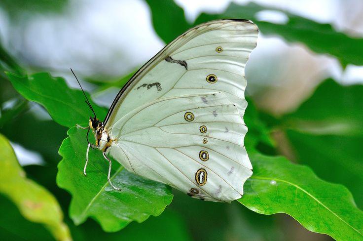 https://flic.kr/p/boTMKb | Morpho polyphemus | Papillons en liberté 2012