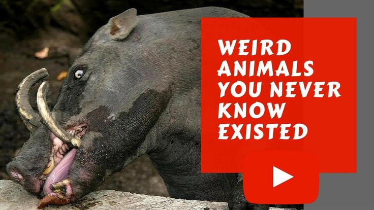 This is a compilation of Weird Animals You Never Know Existed before. This is the first episode of the series Weird Animals. Please leave a like to support me And don't forget to subscribe :D  Bumblebee bat - 0:05 Golden snub-nosed monkey - 0:27 Dugong - 1:03 Babirusa : 1:59 Giant Softshell Turtle - 2:57 Star-nosed mole - 3:40 Snub-nosed monkey - 4:22  Connect With Us on -  http://ift.tt/2cg1CSu https://twitter.com/listreamer http://ift.tt/2ctExz7 http://ift.tt/2cg1cvc http://ift.tt/2ctEzXA…