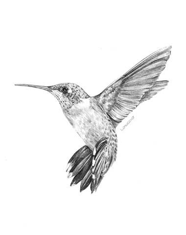 Black and White Hummingbird Drawing | Ruby-Throated Hummingbird Print — from a pencil drawing