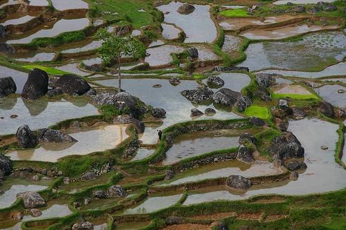 Rice field terrasses, Tana Toraja