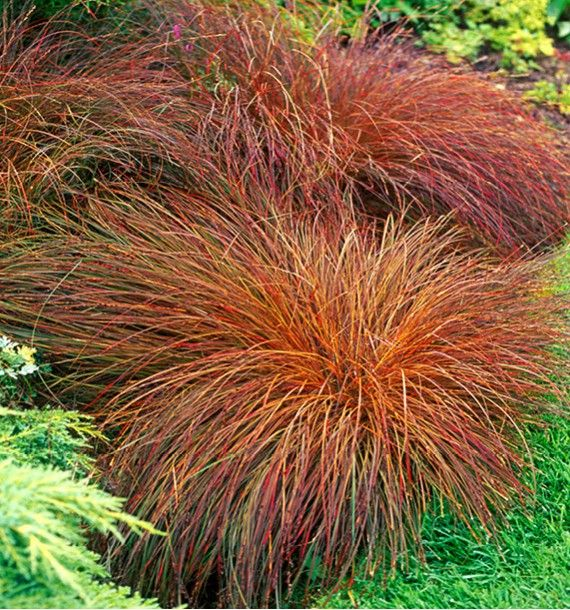 Jacques Briant vous propose sa CAREX BRONZE REFLECTION, ses fleurs - carex bronze reflection