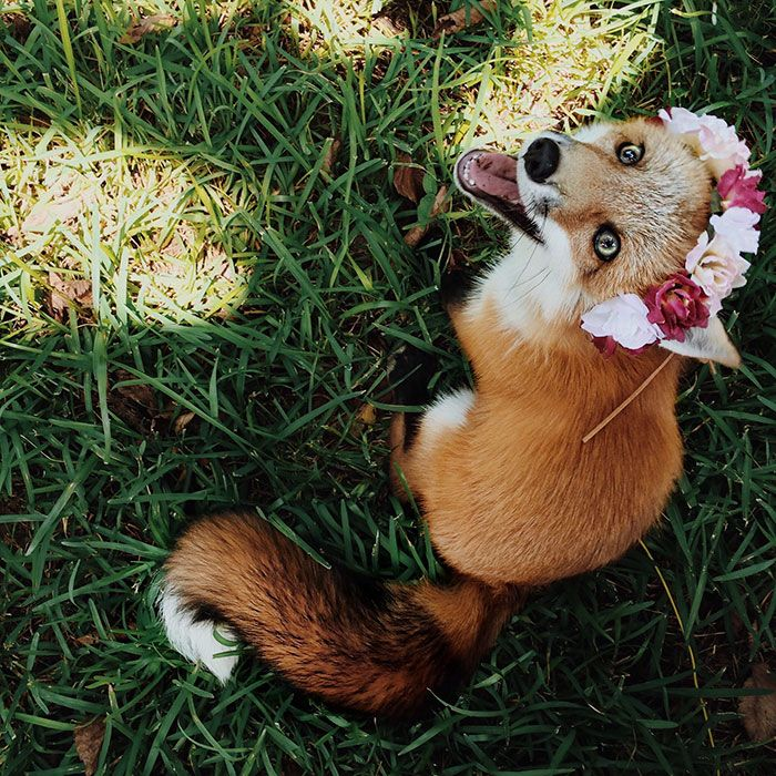Meet Juniper, The Pet Fox Who's Basically An Orange Dog | Bored Panda