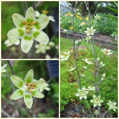 Grönlilja Tuvbildande perenn. Zon 6. Den blommar juni-aug. Den passar till det mesta med sin vita/lime färg och trivs i halv till helskugga. Den blir ca 60 cm hög. Grönliljan växer dock något långsamt så när du skolar om den görs det med fördel med fem-tio strå per kruka. Om 3-4 år är grönliljan fullvuxen. Men det är värt tiden för det är en planta som sällan finns med i plantskolornas sortiment. Text från Naturliga Nord.