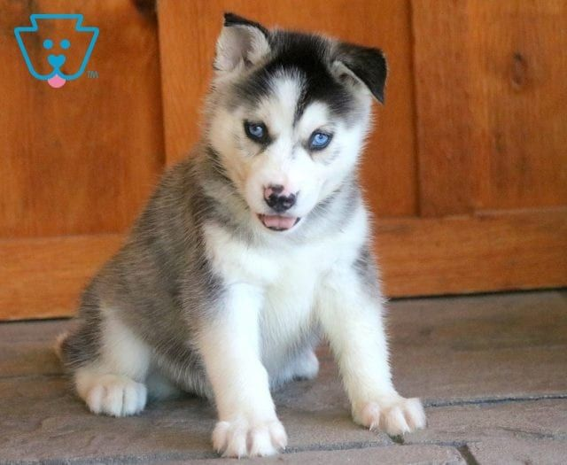Rose Husky Puppies For Sale Husky Puppy Puppies For Sale