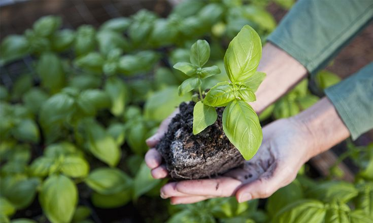 Staat je nieuwe basilicumplant er na drie dagen ook zo verdrietig bij? Met deze tips blijft de plant langer leven.