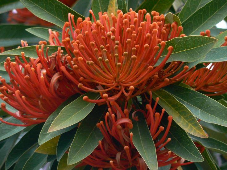Queensland Tree Waratah