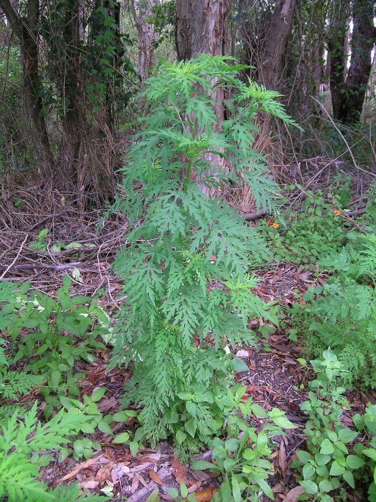 Ambrosia artemisiaefolia $15 christmas gift ideas