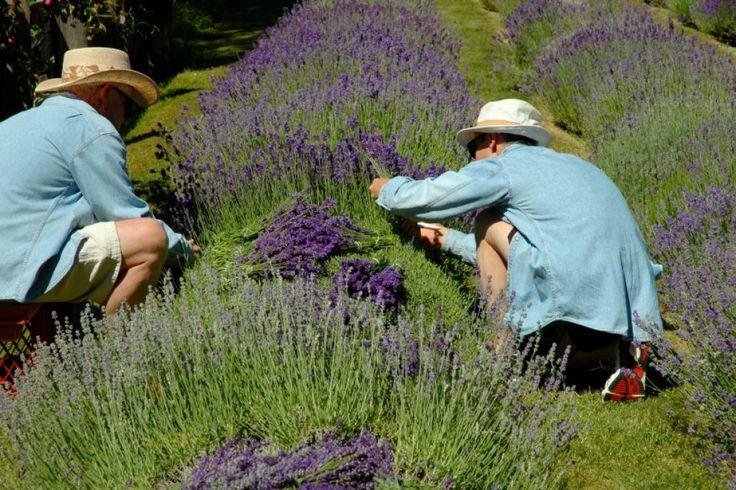 Wann Lavendel schneiden