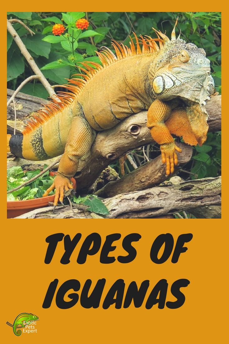 Types Of Iguana. Information and facts about the many species of Iguana. #IguanaTypes #SpeciesOfIguana #Iguana #Reptiles #ExoticAnimals #ExoticPetsExpert