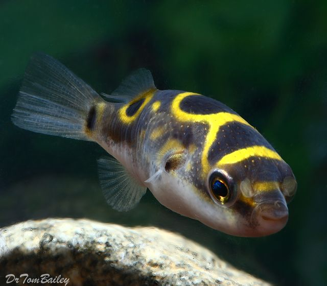 Figure 8 Puffer  Brackish Water Fish for Sale - AquariumFish.net