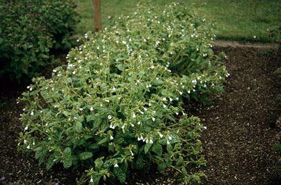 RHS Plant Selector Pulmonaria 'Sissinghurst White' AGM ...