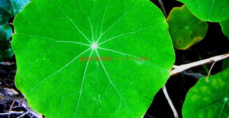 Călțunașii, recomandați persoanelor anorexice. Stimulează digestia! | Paradis Verde