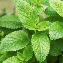 Lemon Balm - makes a nice tea that's good for headaches.