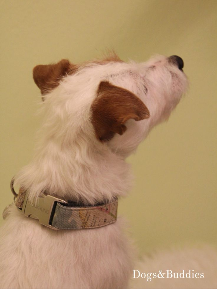 Vintage Mickey Parson Russell Terrier Oldenburg Deutschland Germany Halsband prunkhund