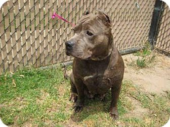 Norco, CA - Pit Bull Terrier. Meet *ALLIE MAE, a dog for adoption. http://www.adoptapet.com/pet/18503586-norco-california-pit-bull-terrier
