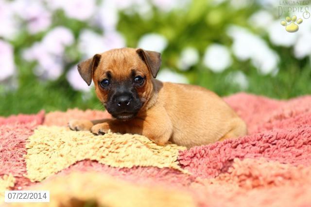 Jug Puppy for Sale in Pennsylvania