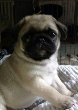 Pug Puppy For Sale In Leland Nc Adn 66229 On Puppyfindercom