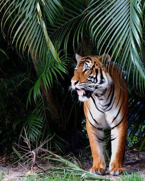 A Tiger ~ In The Jungle!