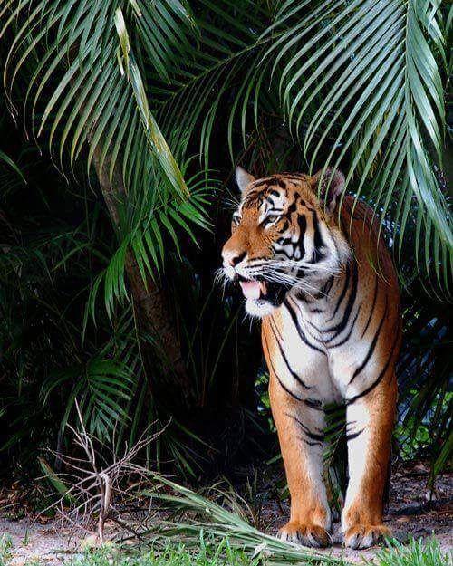 A Tiger ~ In The Jungle!