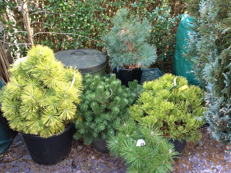 Dwarf conifers good for japanese themed gardens and to for Japanese themed garden