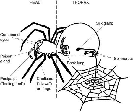 Dibujos Para Colorear Del Hombre Arana O Spiderman Online likewise Leaf Shape likewise Dana Differential moreover Pajaki furthermore Index. on different parts of a spider