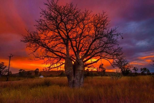 "Icon of the Kimberley ""The Boab Tree"" by Phil Normandale ABC open contributor - facebook.com/abcopen"