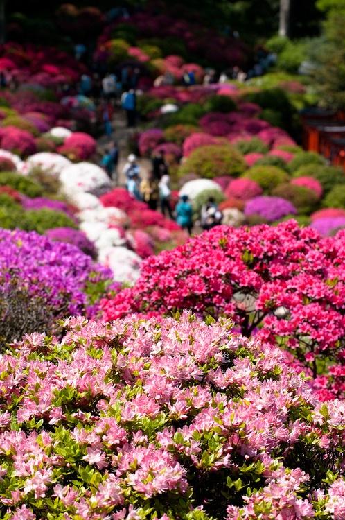 azaleas by kokorono on flickr