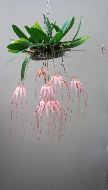 Bulbophyllum Elizabeth Ann 'Buckleberry' FCC/AOS...//Clinton LEwis