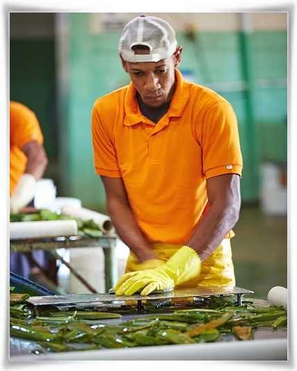 Εξαγωγή του Ζελέ από τα Φύλλα Φυτών Aloe #barbadensis Miller #ForeverLivingProducts   #AloeVera