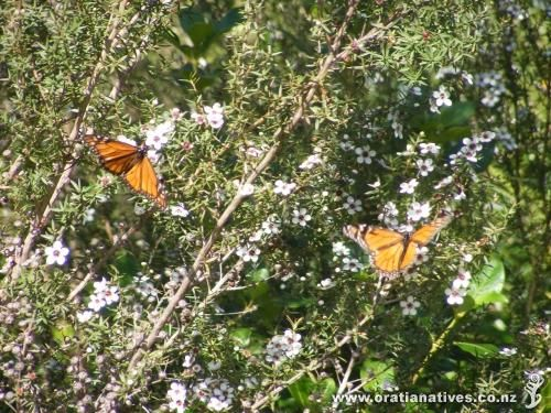 Leptospermum scoparium - Manuka - Tea tree