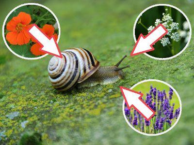 rośliny odstraszające ślimaki
