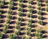 get lost in olive tree sea horizon!
