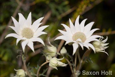 Actinotus helanthii • Australian Native Plants Nursery • Plants • 800.701.6517