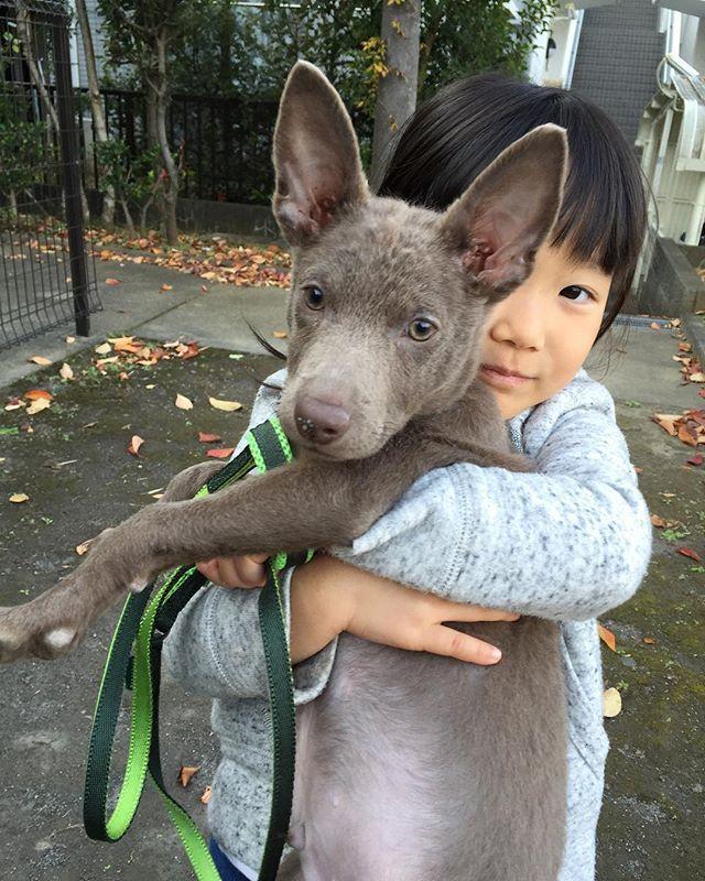 なんとなく秋を感じる一枚。今年は紅葉を見に行くのは難しそうだけど、おうちの周りを色々探検して、面白いものをたくさん見つけようね^^ウンチがまだゆるいので、予防接種は持ち越しな銀です。。 #犬#仔犬#いぬすたぐらむ#犬ばか部#パピー#生後3ヶ月#オーストラリアンケルピー#ケルピー#愛犬#愛犬家#ペット#ペットは家族#犬との暮らし#犬と子ども#5歳#子育て#子育て日記#子ども#子どもと犬#散歩#散歩デビュー#写真#秋#mydog#dog#dogstagram#puppies#australiankelpie#kelpie#kelpiepuppy
