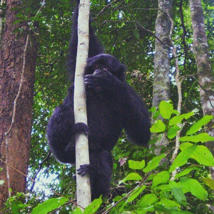 Siamang aka Black Gibbon