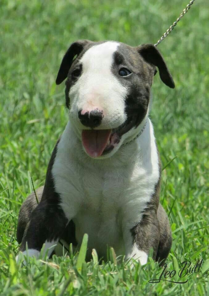147 Best Images About Cute Bull Terrier Puppies On