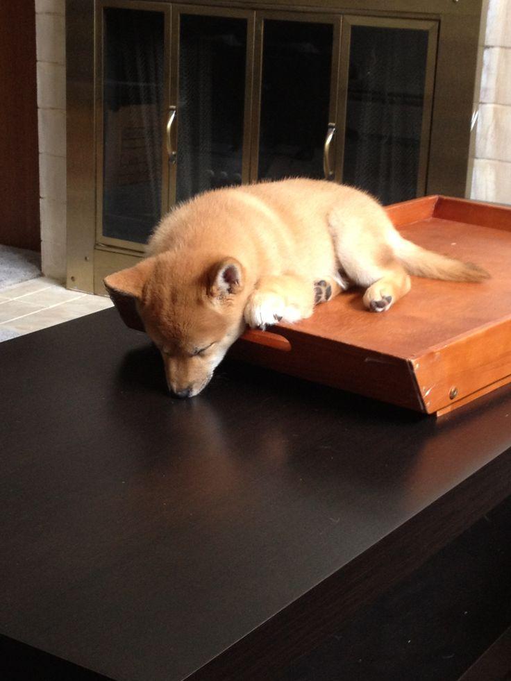 My shiba will sleep anywhere so cute shiba inu shiba