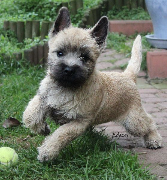 Boy Dog Names For Cairn Terriers