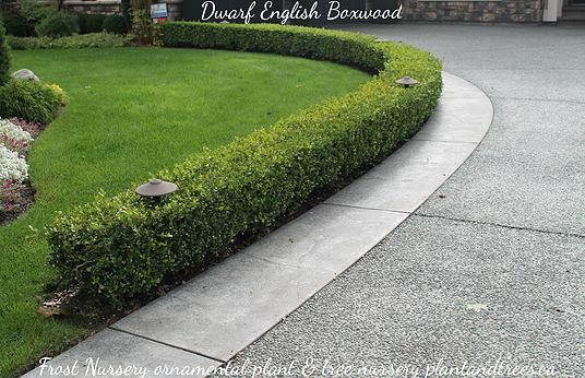 Dwarf English boxwood hedge