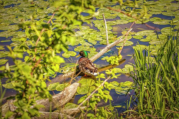 A mallard drake standing on an old tree in the water of creek of city Enkoping, Enkoeping