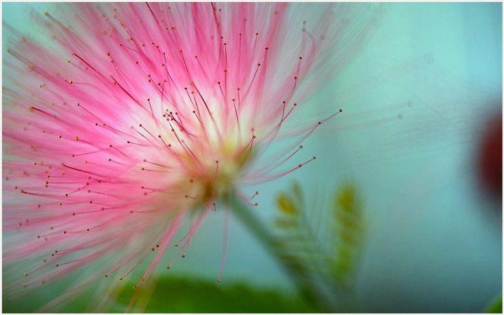 Blooming Pink Flower Wallpaper | blooming pink flower wallpaper 1080p, blooming pink flower wallpaper desktop, blooming pink flower wallpaper hd, blooming pink flower wallpaper iphone