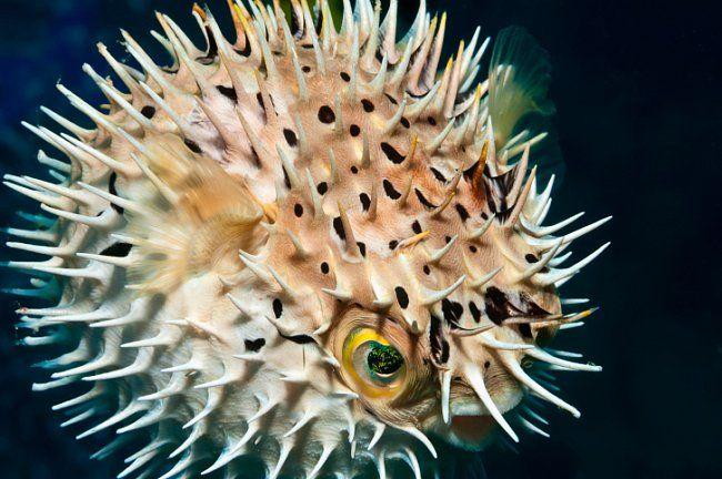 Ostny ryb čeledi ježíkovitých (Diodontidae) je chrání před dravci.