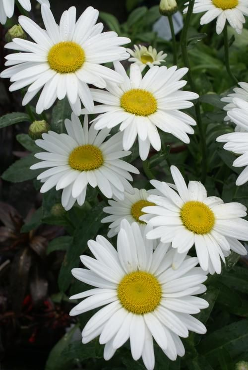 Shasta Daisy Leucanthemum superbum Becky from Growing Colors