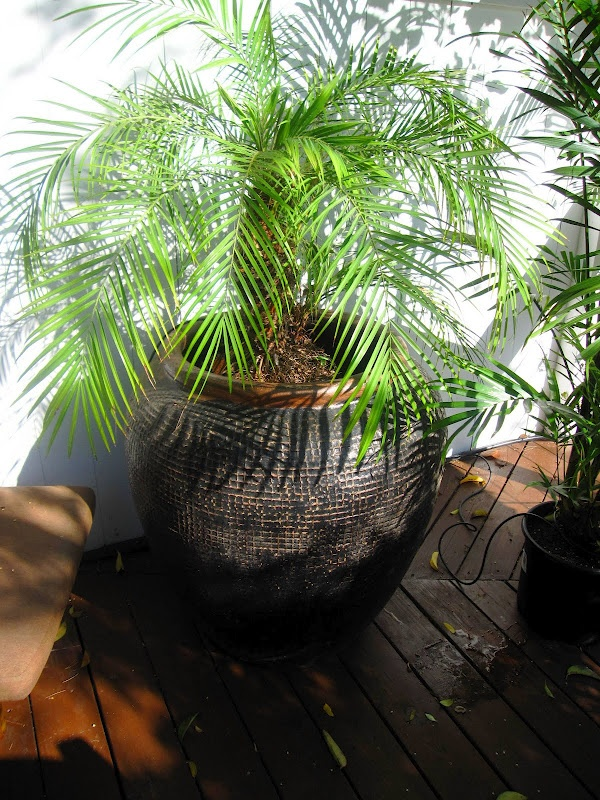 A large ceramic pot with a small palm tree on my deck! http://www.cococozy.com