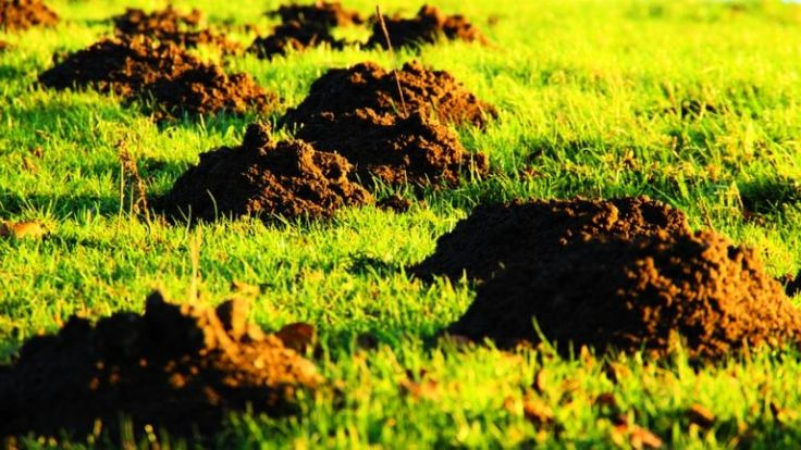 how to get rid of moles with dawn dish soap