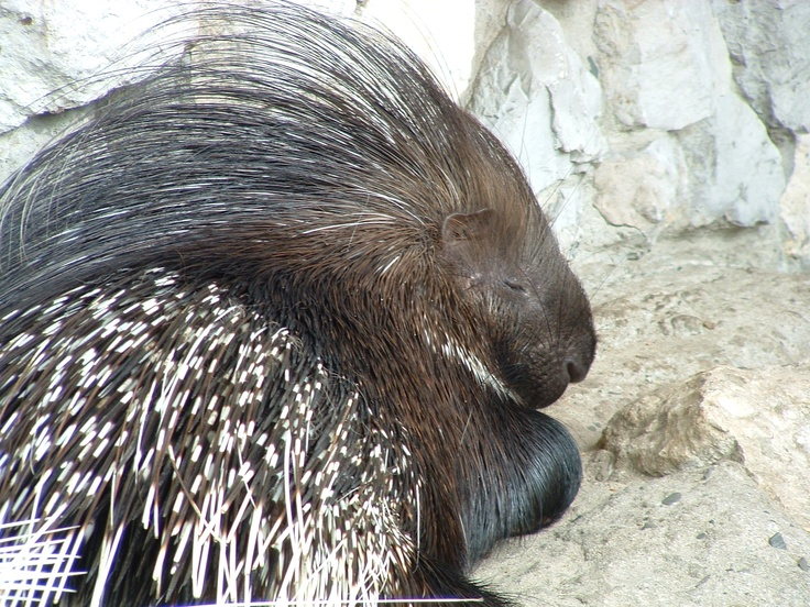Brazilian Tree Porcupine, 11 Animal Hairstyles Humans Should ...