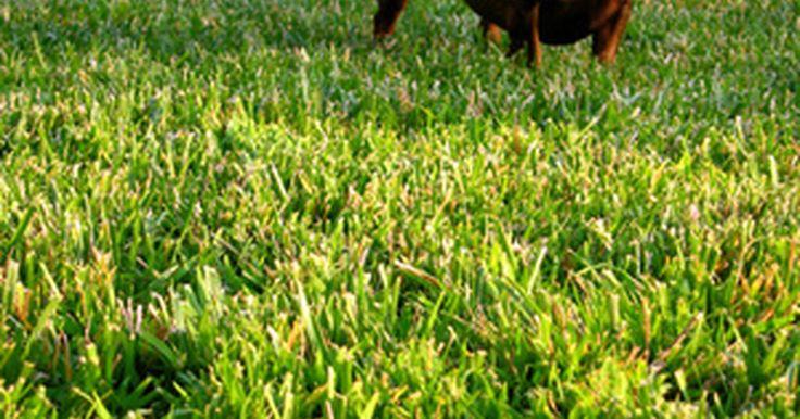 Como eliminar os carrapatos em um animal. Os carrapatos são minúsculos parasitas que estão intimamente relacionadas com aranhas. Eles se alimentam sugando o sangue, e é comum encontrá-los em cães, gatos e até seres humanos. Existem várias espécies de carrapatos, e são mais do que um incômodo. Eles podem carregar e transmitir doenças, como a doença de Lyme e a febre maculosa. Os cachorros ...
