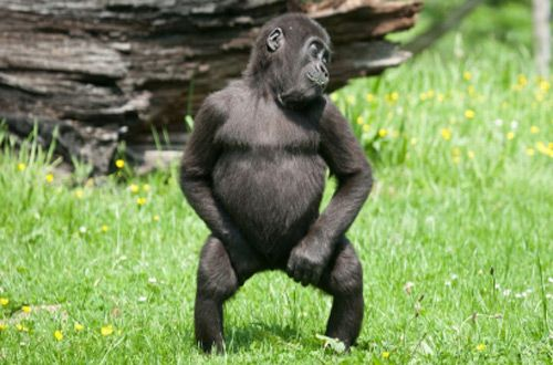 Звездой интернета стала танцующая горилла Лопе (видео)
