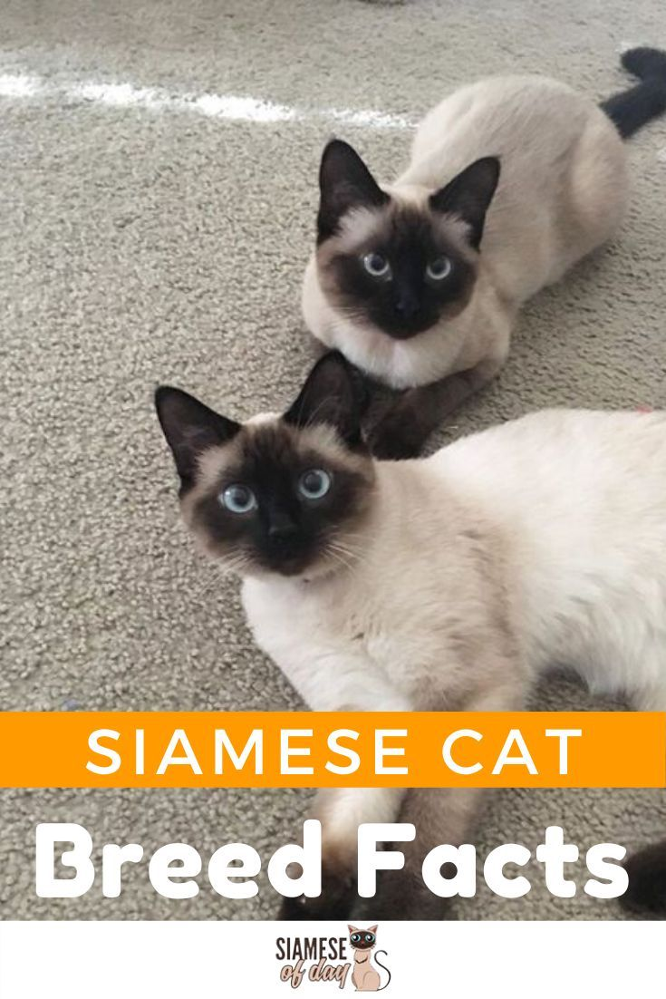 Siamese Cat Personality And Behavior Siameseofday In 2020 All Cat Breeds Cat Breeds Siamese Cats