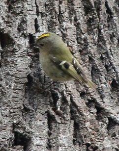 Regolo. Birdwatching in pineta a Venezia - CSI MultiMedia